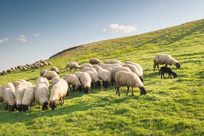 Rebanho dos carneiros que pastam fotos de stock