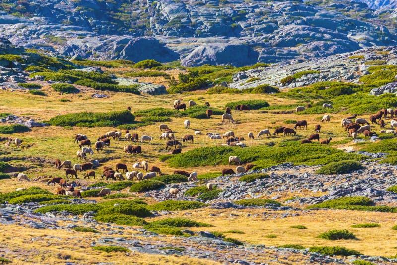 Rebanho dos carneiros que pastam altamente nas montanhas no outono fotos de stock