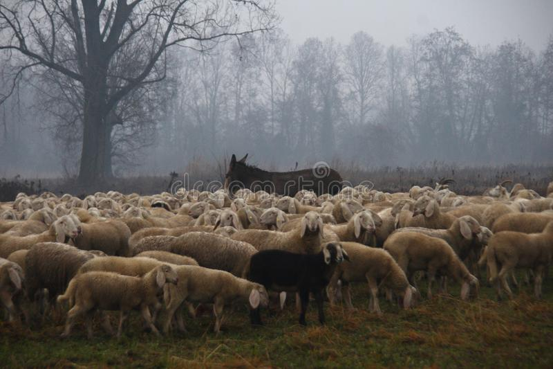Rebanho dos carneiros que pastam na queda fotos de stock