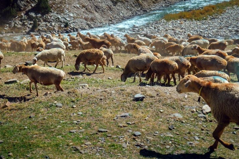 Rebanho dos carneiros que pastam perto da montanha e do rio de fluxo Naran, Paquistão imagem de stock