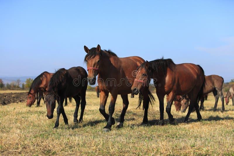 Rebanho dos cavalos fotos de stock
