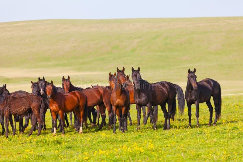 Rebanho dos cavalos imagem de stock