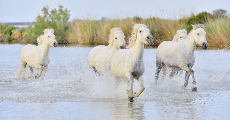 Rebanho dos cavalos brancos de Camargue que correm através da água fotografia de stock