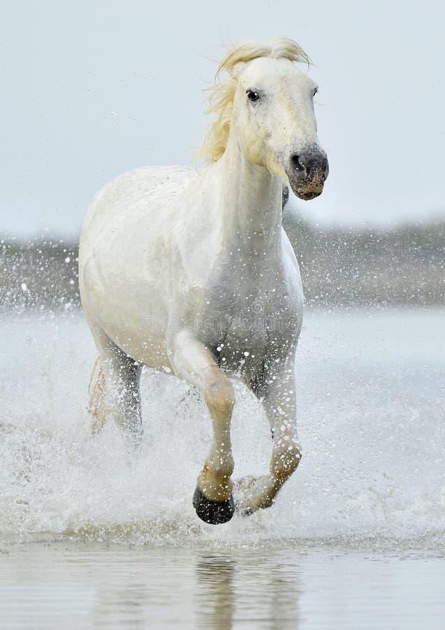 Rebanho dos cavalos brancos de Camargue que correm através da água fotografia de stock royalty free