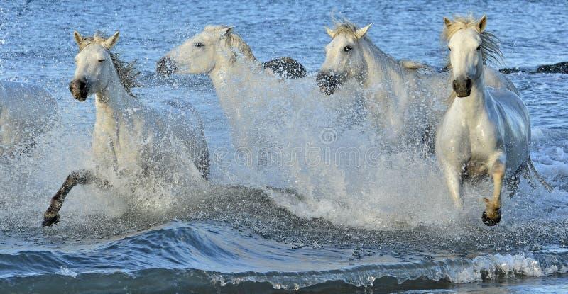 Rebanho dos cavalos brancos de Camargue que correm através da água imagem de stock
