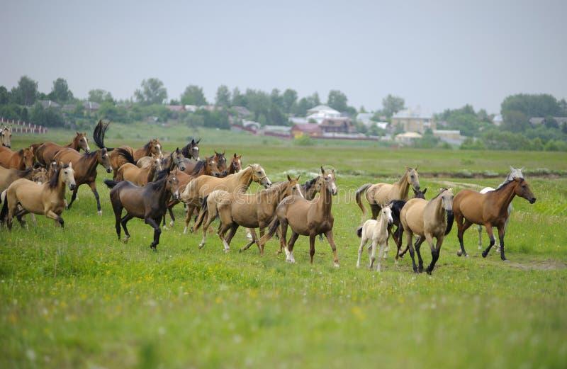 Rebanho dos cavalos de Akhal-teke imagens de stock