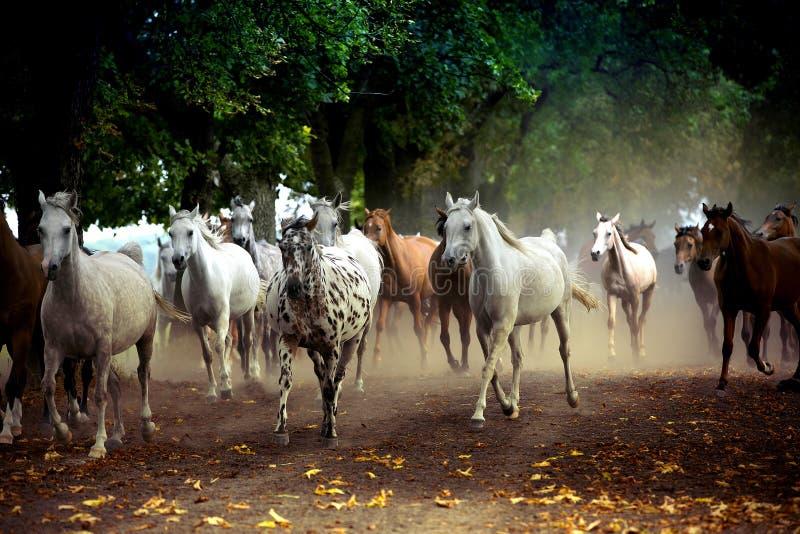 Rebanho dos cavalos na estrada da vila fotos de stock royalty free