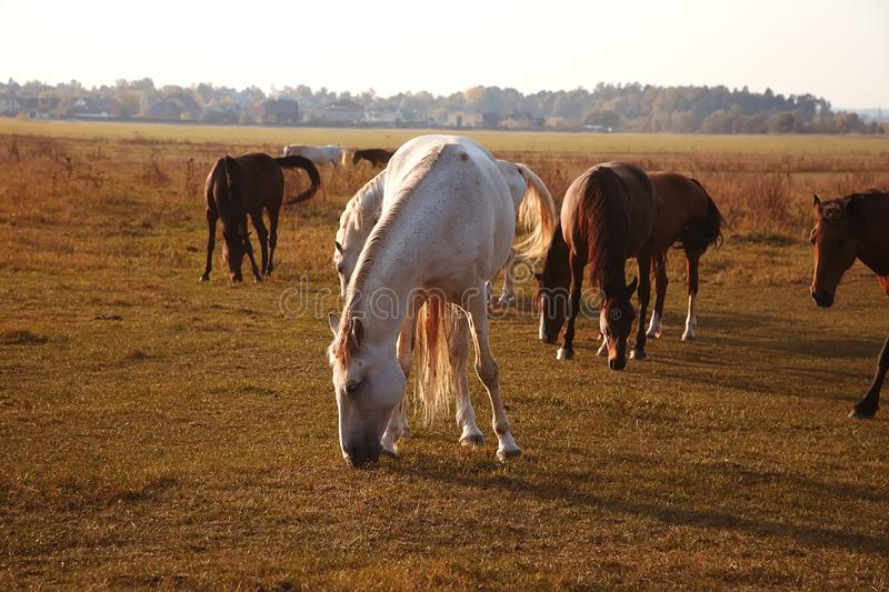 Rebanho dos cavalos na natureza no sol de ajuste Fundo do campo dos animais imagem de stock