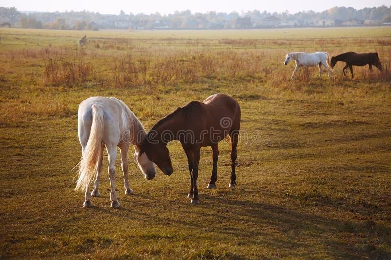 Rebanho dos cavalos na natureza no sol de ajuste Fundo do campo dos animais imagens de stock royalty free