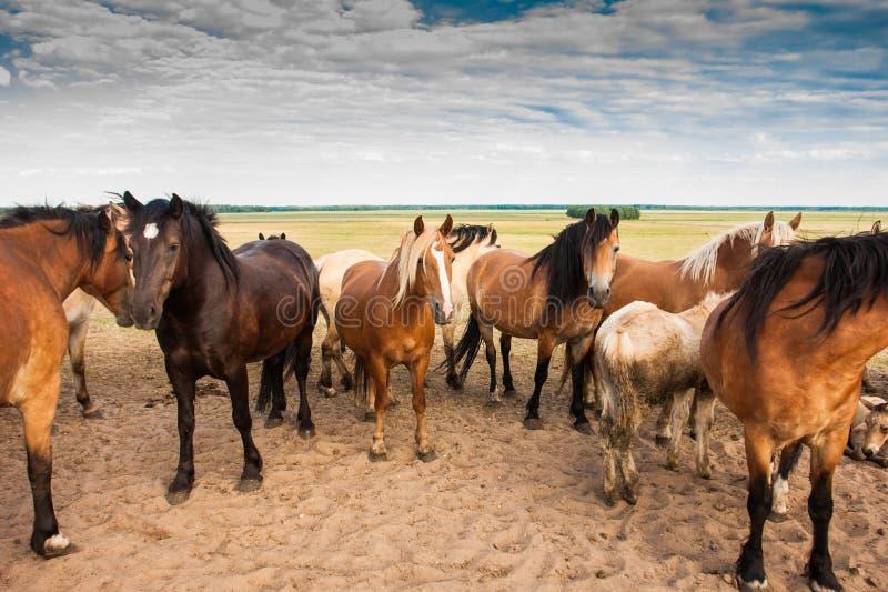 Rebanho dos cavalos no campo imagens de stock royalty free
