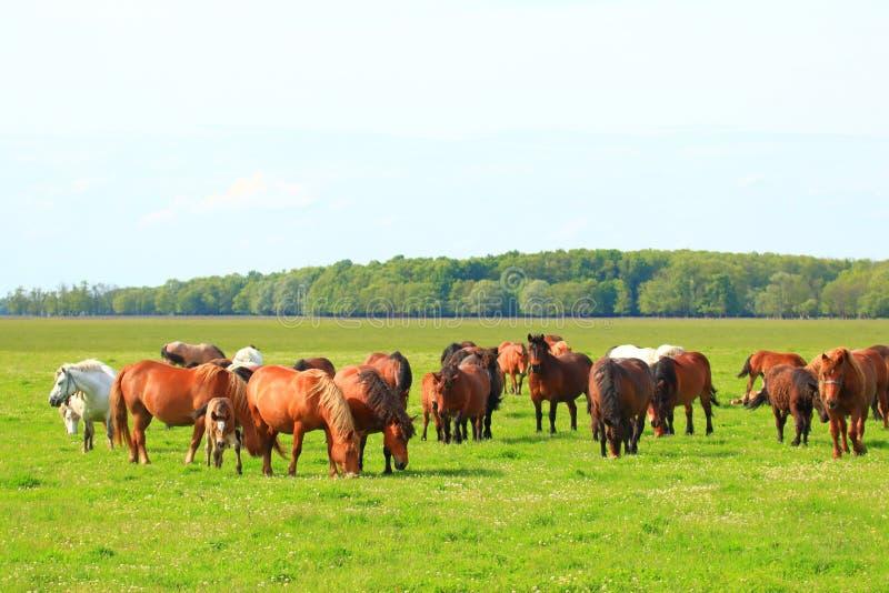 Rebanho dos cavalos no pasto no prado fotografia de stock
