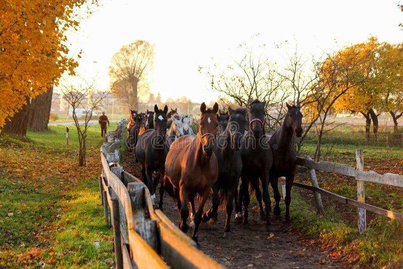 Rebanho dos cavalos que correm abaixo do trajeto à exploração agrícola foto de stock