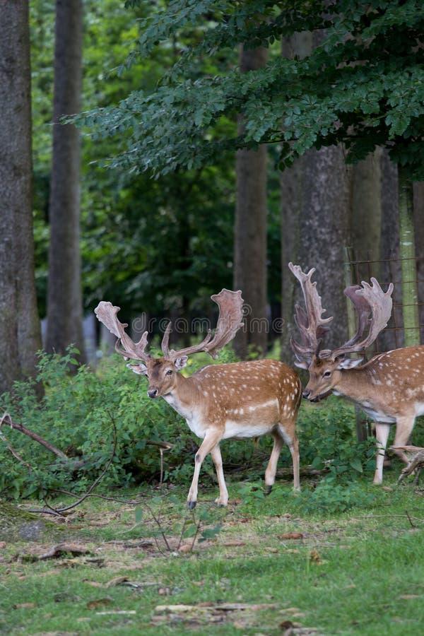 Rebanho dos cervos alqueivados masculinos na floresta foto de stock royalty free