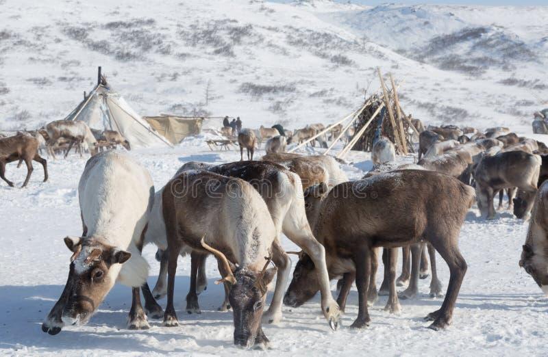 Rebanho dos cervos perto dos amigos de um Nenets em um dia de inverno foto de stock royalty free