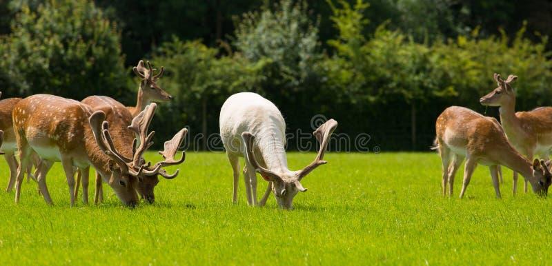 Rebanho dos cervos selvagens que pastam o campo inglês Forest Hampshire novo Reino Unido do sul fotografia de stock