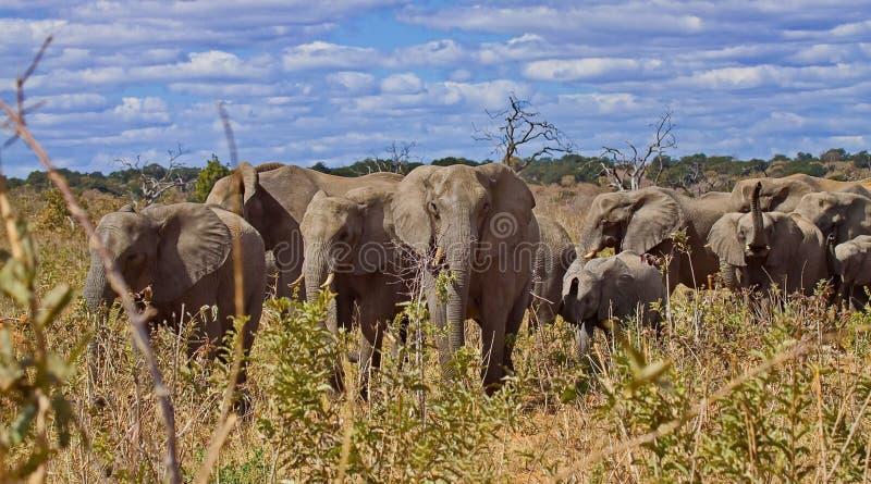 Rebanho dos elefantes Africana africano do Loxodonta do elefante do arbusto, igualmente conhecido como o elefante africano do sav fotos de stock