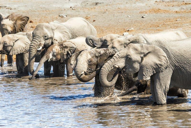 Rebanho dos elefantes africanos que bebem e que banham-se imagem de stock royalty free