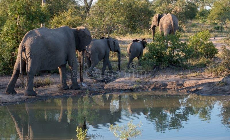 Rebanho dos elefantes africanos refletidos na água em um waterhole em Sabi Sands Game Reserve, África do Sul imagem de stock royalty free