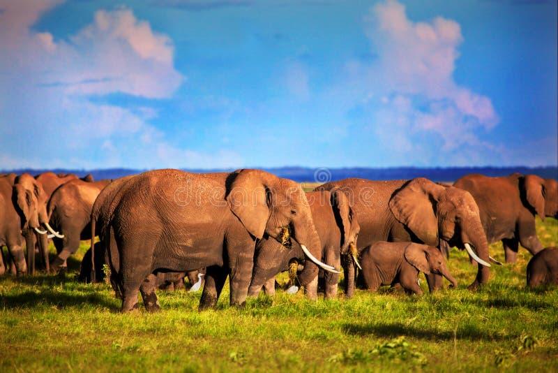 Rebanho dos elefantes no savanna. Safari em Amboseli, Kenya, África