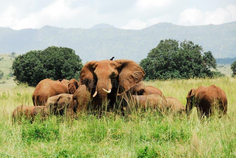 Rebanho dos elefantes, vale NP de Kidepo (Uganda) fotografia de stock