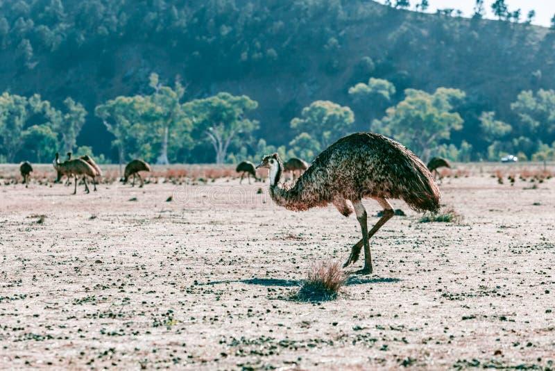 Rebanho dos ema em escalas do Flinders fotos de stock