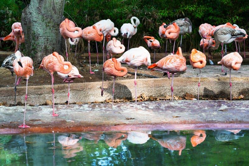 Rebanho dos flamingos fotos de stock royalty free