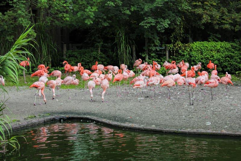 Rebanho dos flamingos cor-de-rosa que estão e que descansam perto da água no jardim zoológico imagem de stock royalty free