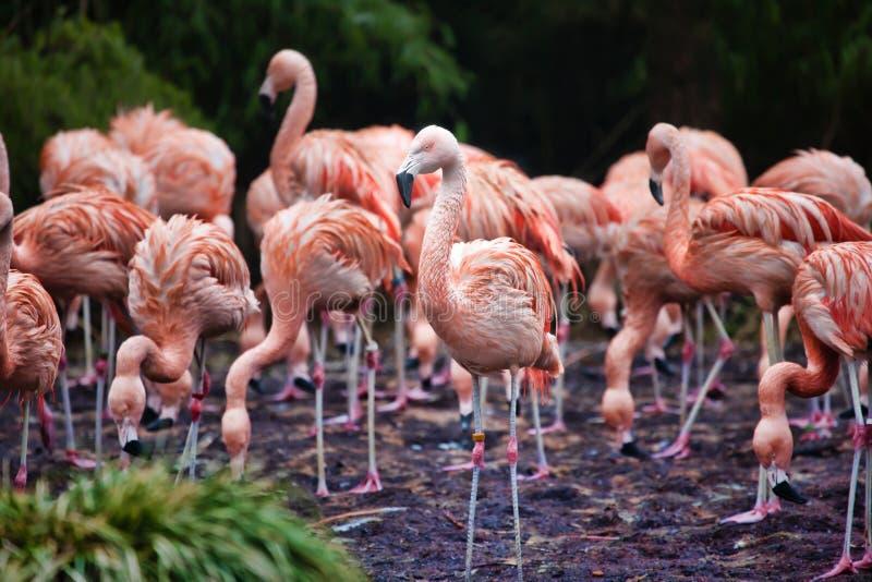 Rebanho dos flamingos cor-de-rosa que forrageiam em um lago fotos de stock