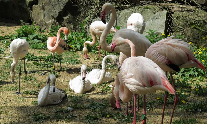 Rebanho dos flamingos no JARDIM ZOOLÓGICO de Jihlava na república checa fotografia de stock