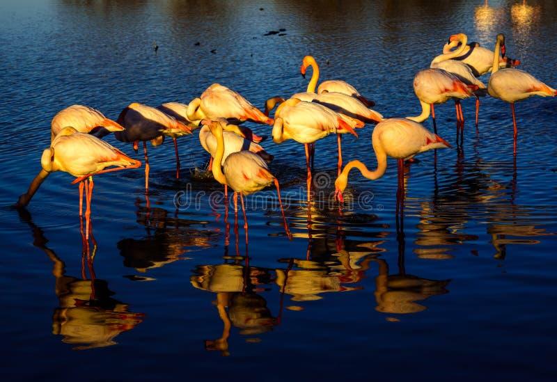 Rebanho dos flamingos no por do sol fotografia de stock