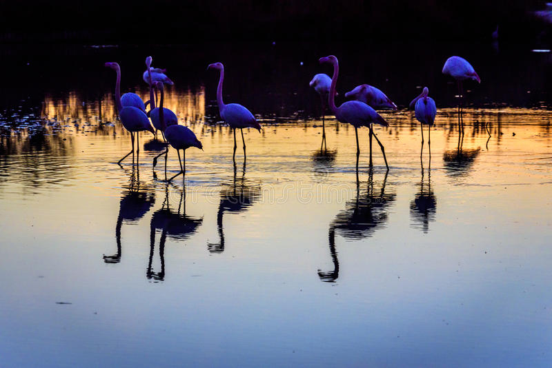 Rebanho dos flamingos no por do sol no Camargue, França imagem de stock