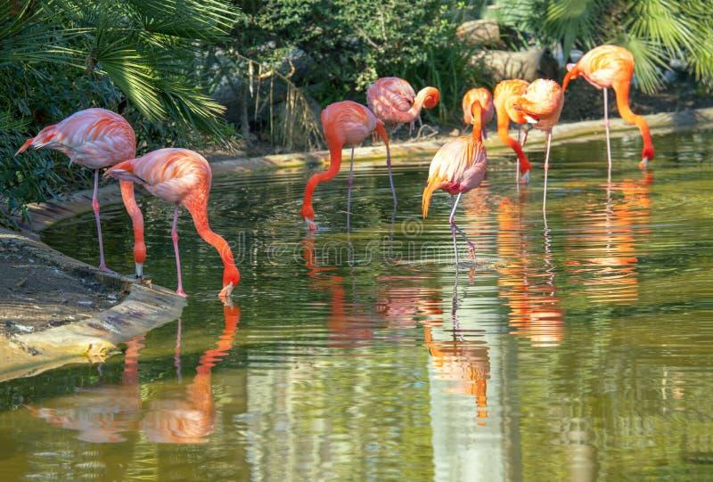Rebanho dos flamingos imagens de stock royalty free