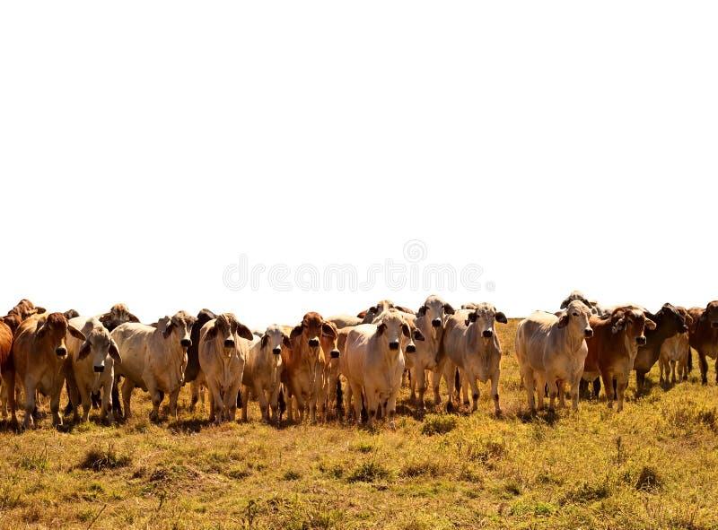 Rebanho dos gados bovinos de vacas do brahman   fotografia de stock royalty free