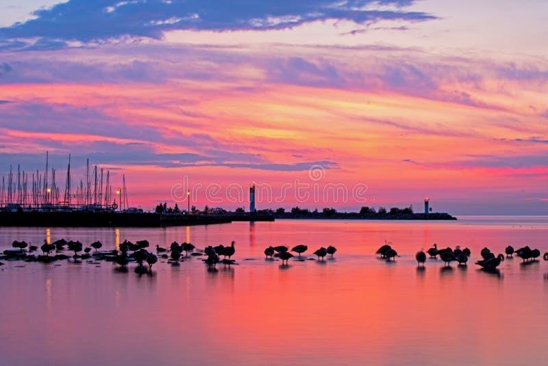 Rebanho dos gansos no nascer do sol no Lago Ontário fotografia de stock