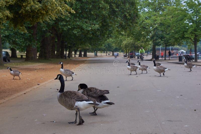 Rebanho dos gansos pretos de Canadá do pescoço que cruzam a estrada em Hyde Park foto de stock