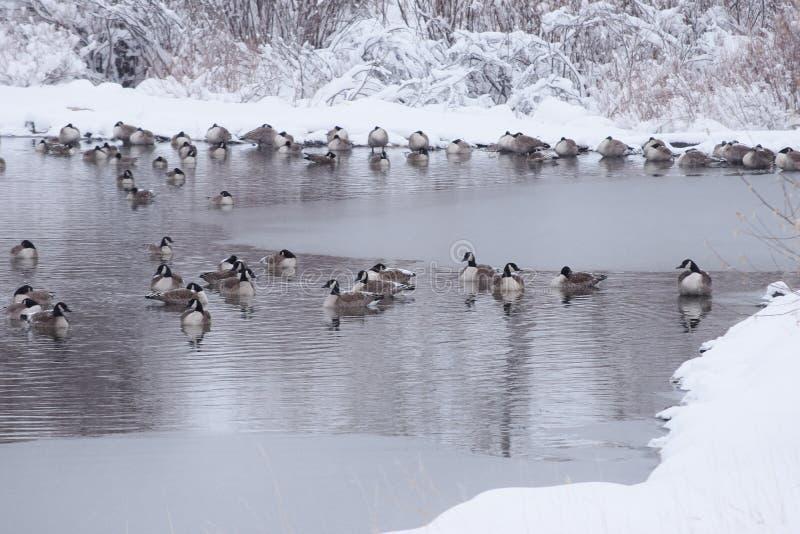 Rebanho dos gansos que descansam no lago gelado foto de stock royalty free