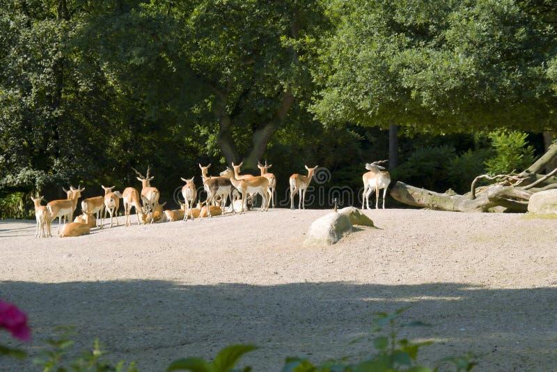 Rebanho dos gazelles fotografia de stock