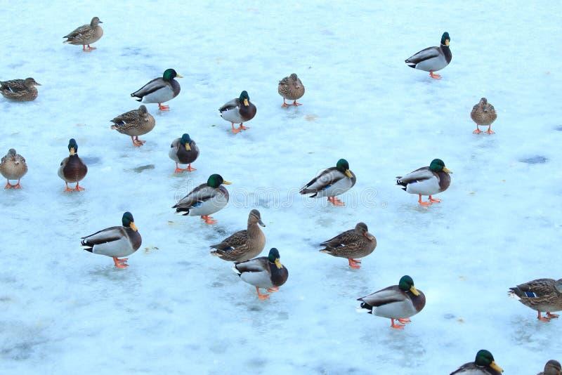 Rebanho dos patos no gelo fotografia de stock