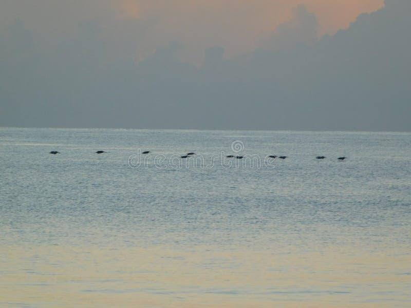 Rebanho dos pelicanos durante o nascer do sol em Florida fotografia de stock royalty free