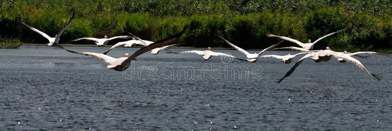 Rebanho dos pelicanos no delta de Danúbio fotos de stock royalty free