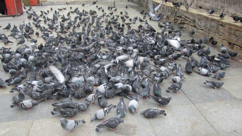 Rebanho dos pombos fotos de stock royalty free