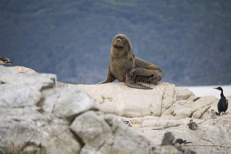 Rebanho dos selos que lounging junto com aves migratórias na Antártica fotografia de stock