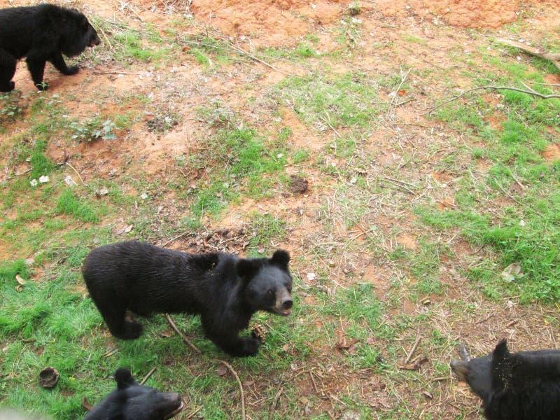 Rebanho dos ursos na natureza fotografia de stock
