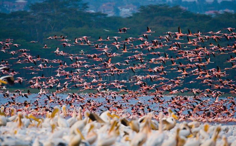 Rebanho enorme da descolagem dos flamingos kenya África Nakuru National Park Reserva nacional de Bogoria do lago foto de stock