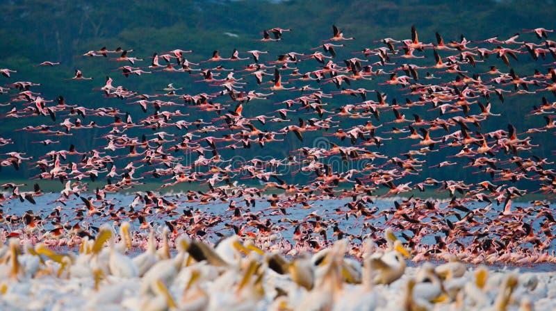 Rebanho enorme da descolagem dos flamingos kenya África Nakuru National Park Reserva nacional de Bogoria do lago fotos de stock