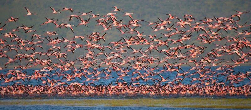 Rebanho enorme da descolagem dos flamingos kenya África Nakuru National Park Reserva nacional de Bogoria do lago fotografia de stock royalty free