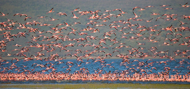 Rebanho enorme da descolagem dos flamingos kenya África Nakuru National Park Reserva nacional de Bogoria do lago fotografia de stock