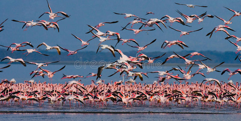 Rebanho enorme da descolagem dos flamingos kenya África Nakuru National Park Reserva nacional de Bogoria do lago imagens de stock royalty free