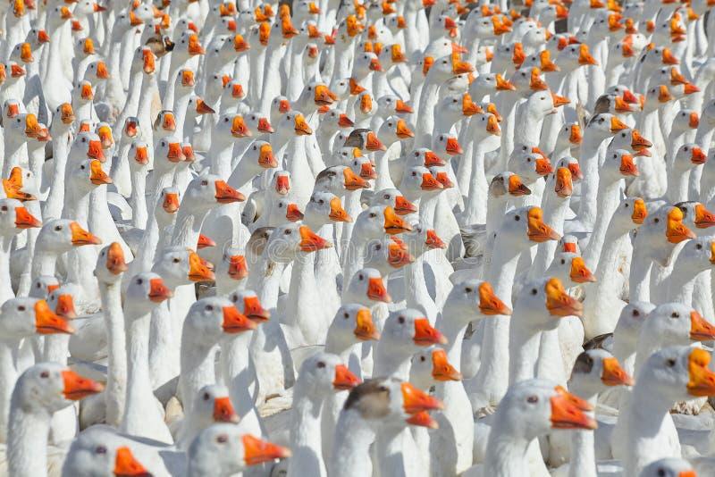 Rebanho enorme dos gansos brancos que olham em um sentido foto de stock