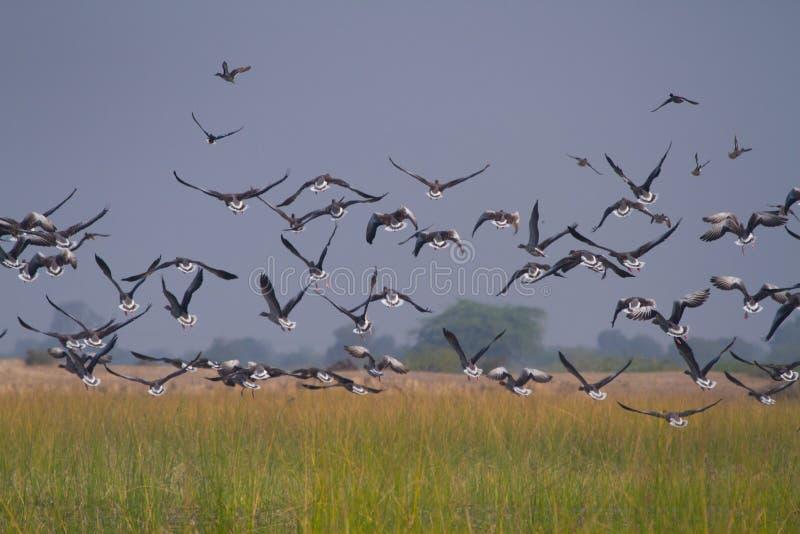 Rebanho enorme dos gansos migratórios que decolam em nalsarovar fotos de stock royalty free